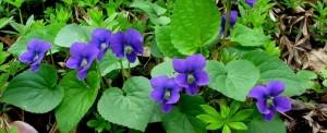 violetd