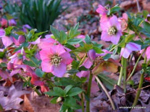 Lenten roses in morning sun