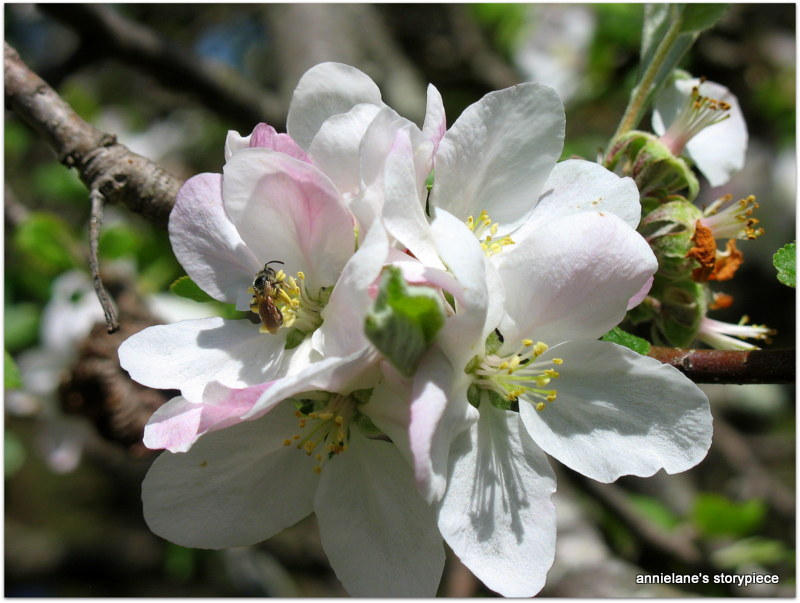 apple blosssom