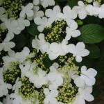 Snowflake Viburnum