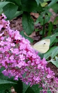 moth on butterfly bush